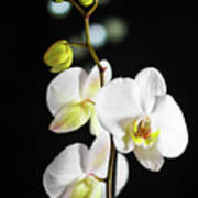 White Orchid On Black Bw Poster