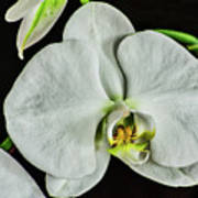 White Orchid On Black Poster