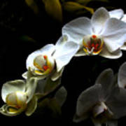 White Orchid With Dark Background Poster
