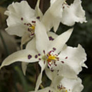 White Orchids 2 Poster