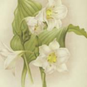 White Orchids   Eucharis Sanderiana Poster