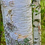 White Paper Birch Bark Along Bike Trail Near Walker-minnesota Poster