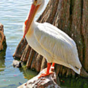 White Pelican By Cypress Tree Poster