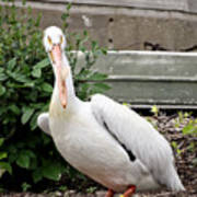 White Pelican Poster