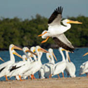 White Pelican In Flight Poster