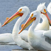 White Pelicans At Nelson Lake Poster