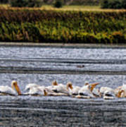 White Pelicans Kootenay Lake Poster