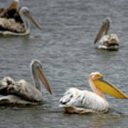White Pelicans On Lake  Poster