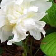 White Peonia Poster