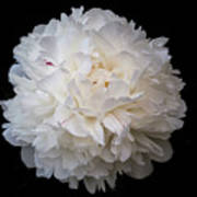 White Peony Flower Poster