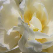White Peony Tulip Detail Poster