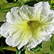White Petunia - Solanaceae Poster