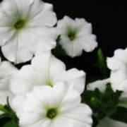 White Petunias Poster