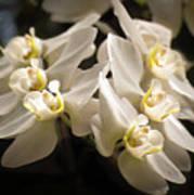 White Phalaenopsis Blossom Poster