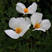 White Poppy In Cube Poster