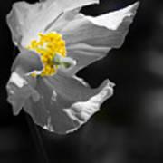 White Poppy Poster