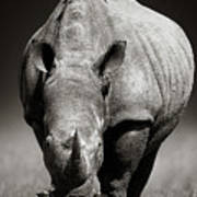 White Rhinoceros  In Due-tone Poster