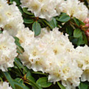 White Rhodies Landscape Floral Art Prints Canvas Baslee Troutman Poster