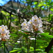 White Rhododendron Blooms Poster