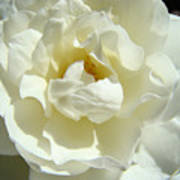 White Rose Art Prints Summer Sunlit Roses Baslee Troutman Poster