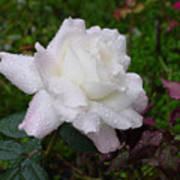 White Rose In Rain Poster