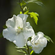 White Rose Of Sharon Squared Poster by Teresa Mucha