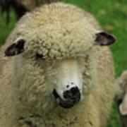 White Sheep Poster
