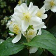 White Spring Blossom Poster