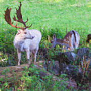 White Stag And Hind Poster