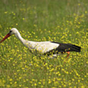 White Stork Looking For Frogs Poster