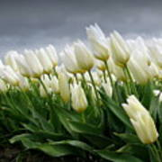 White Stormy Tulips Poster