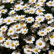 White Summer Daisies Poster