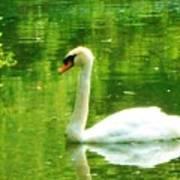 White Swan Swim In Pond Poster