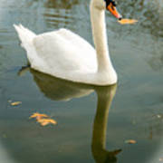White Swan With Reflection Poster