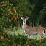 White-tail Buck Through The Trees Poster