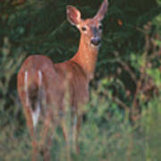 White-tail Deer Poster