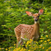 White-tail Fawn Poster