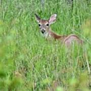 White-tailed Deer Bedded Down In Tall Grass Poster