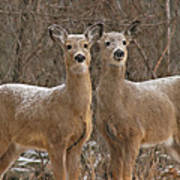 White-tailed Deer Pair Peering Out From Snowstorm Poster