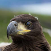 White-tailed Eagle #1 Poster