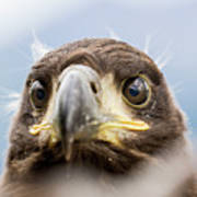 White-tailed Eagle #2 Poster