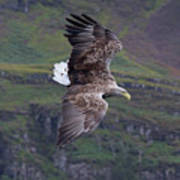 White-tailed Eagle Banks Poster