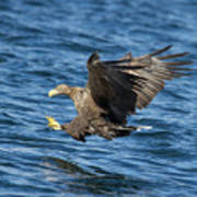 White-tailed Eagle Taking Fish Poster