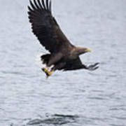 White-tailed Eagle With Catch Poster