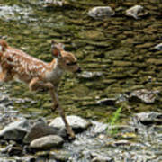White-tailed Fawn At Vichy Springs Resort In Ukiah Poster