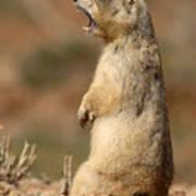 White-tailed Prairie Dog Giving A Fierce Bark Poster