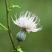 White Thistle Flower Poster