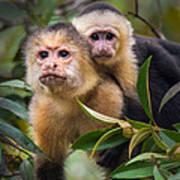 White-throated Capuchin Monkeys Cebus Poster