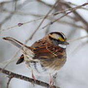White Throated Sparrow 2 Poster