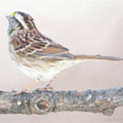 White-throated Sparrow Looking Skyward Poster